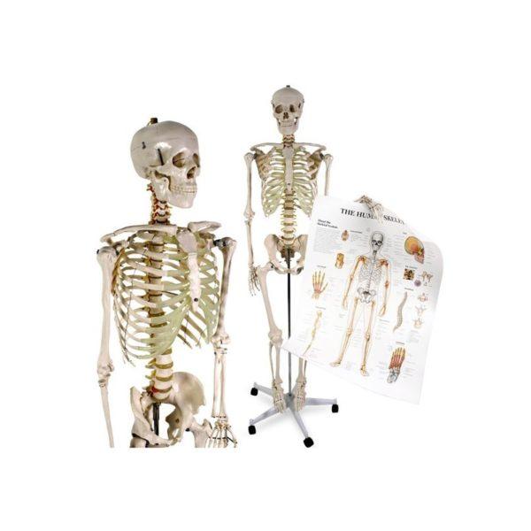 Anatómiai csontváz modell